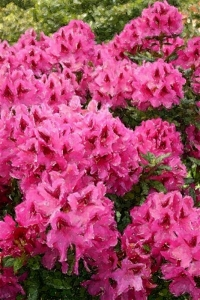 Pink Rhododendrons - Product Image