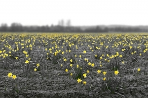 Yellow Daffodils Brightening A Grey World - Product Image
