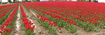 Red Rows of Tulips - Product Image