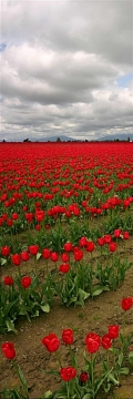 Red Tulip Invasion - Product Image