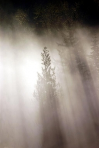 Trees in the Mist - Product Image