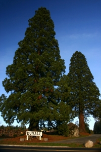Duvall Big Rock Sequoias - Product Image