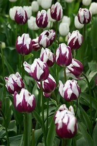 Purple and White tulips - Product Image