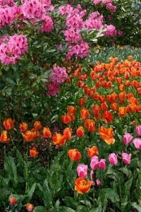 Tulips and Rhododendrons - Product Image