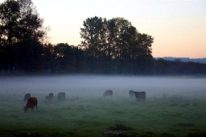 Ghostly Cows - Product Image