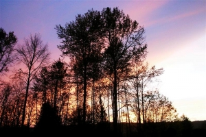 Purple and Pink Sunset Trees - Product Image
