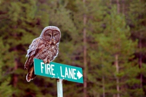 Fire Lane Owl - Product Image