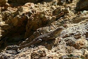 Lizard - Product Image